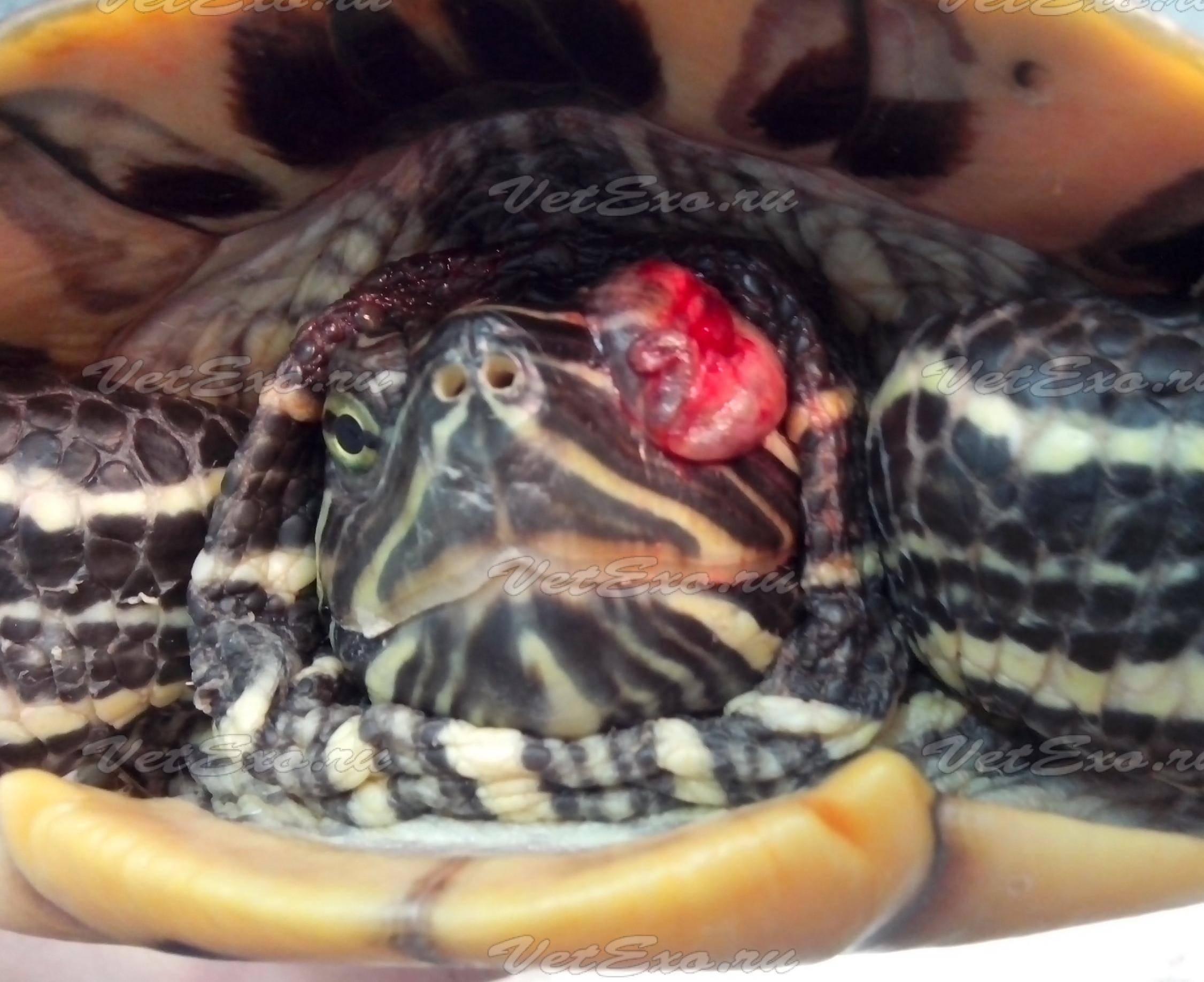 Понос у красноухой черепахи что делать