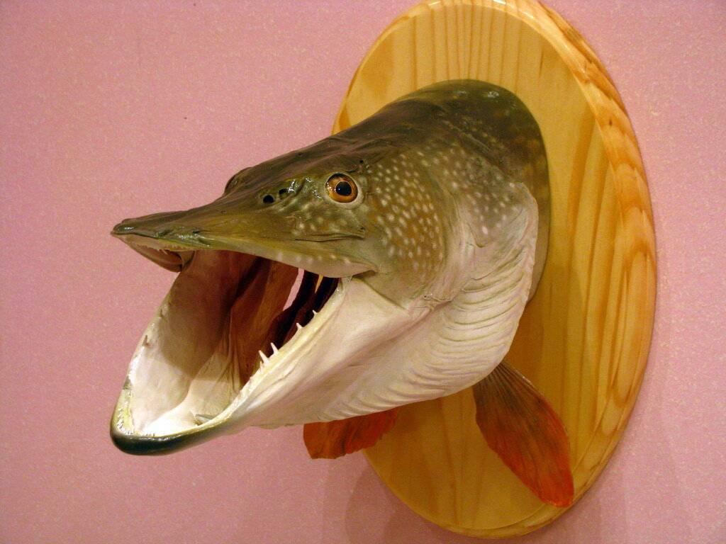 Как сделать чучело из рыбы - что бы было чем похвастаться