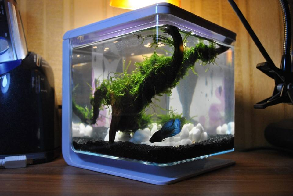 Рыбка петушок: содержание, совместимость, размножение, фото-видео обзор