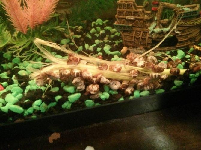 Как избавиться от нежелательных улиток в аквариуме