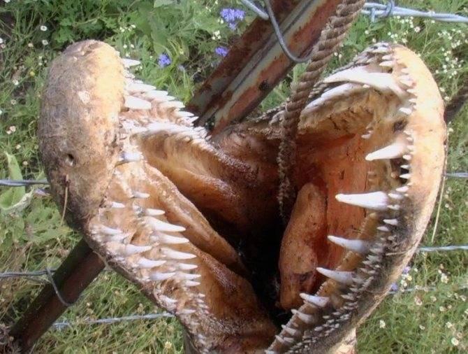 Аллигаторова щука википедия