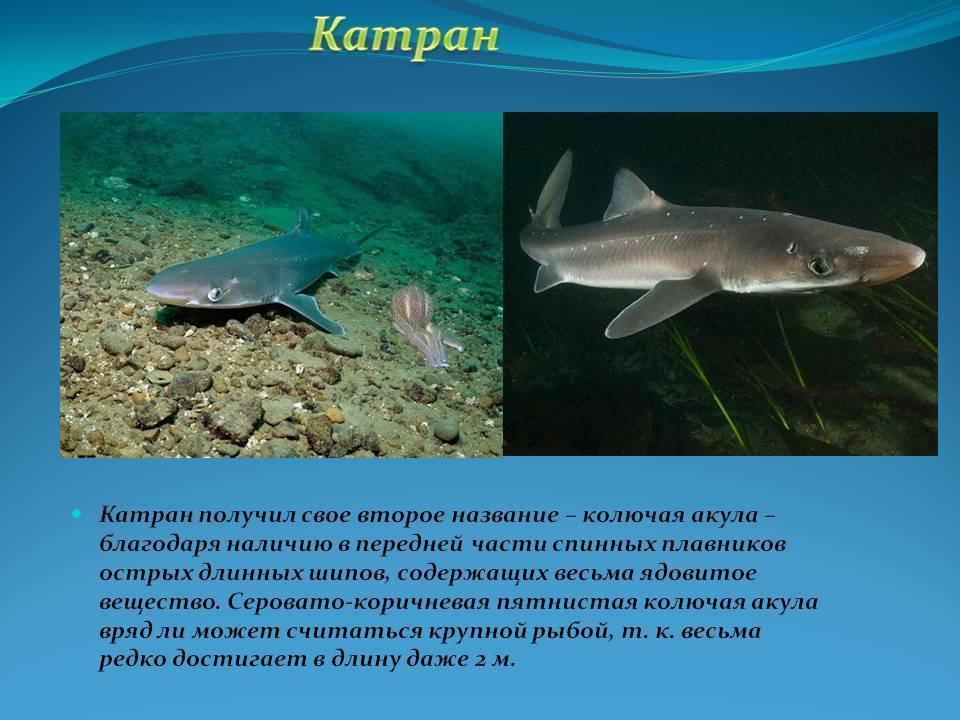 Есть ли акулы в черном море: виды хищников, случаи нападения | вся планета