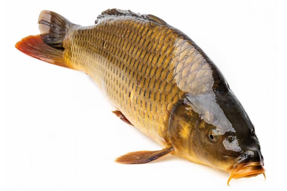Сазан: полезные свойства рыбы, химический состав