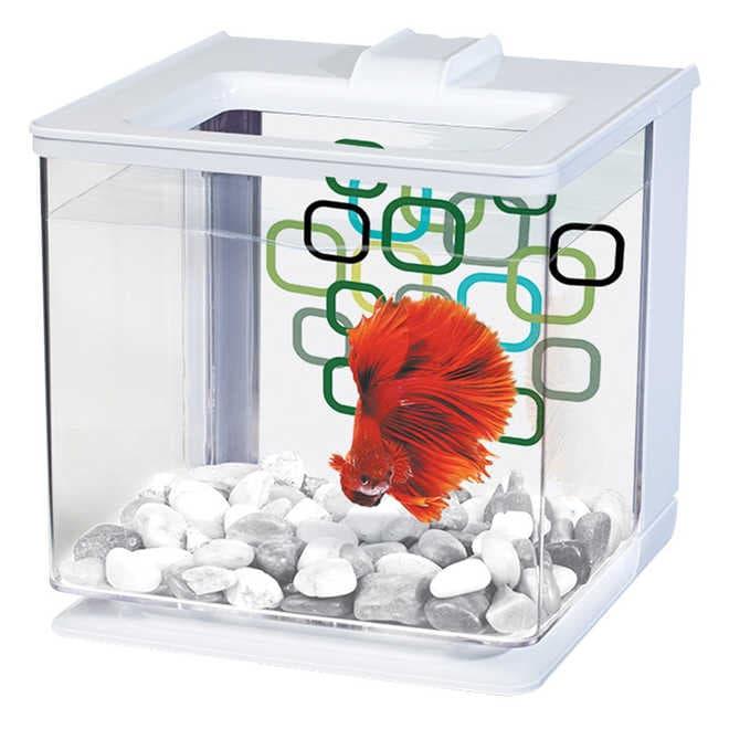 Уход и содержание рыбки петушка в мини-аквариуме