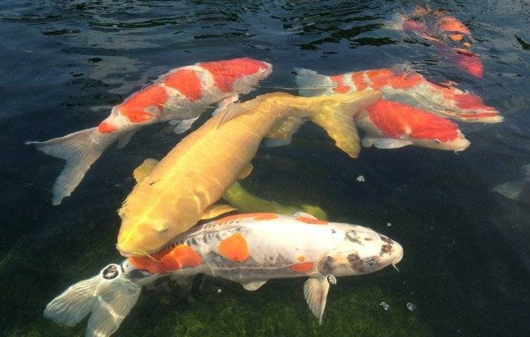 Японский карп кои. богатство, традиции и живопись