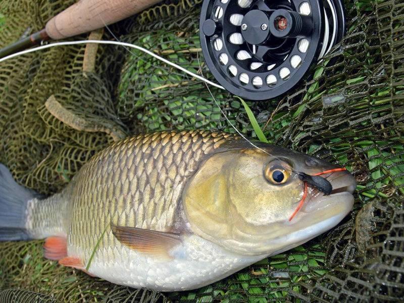 Голавль – пресноводная рыба, ее фото и описание
