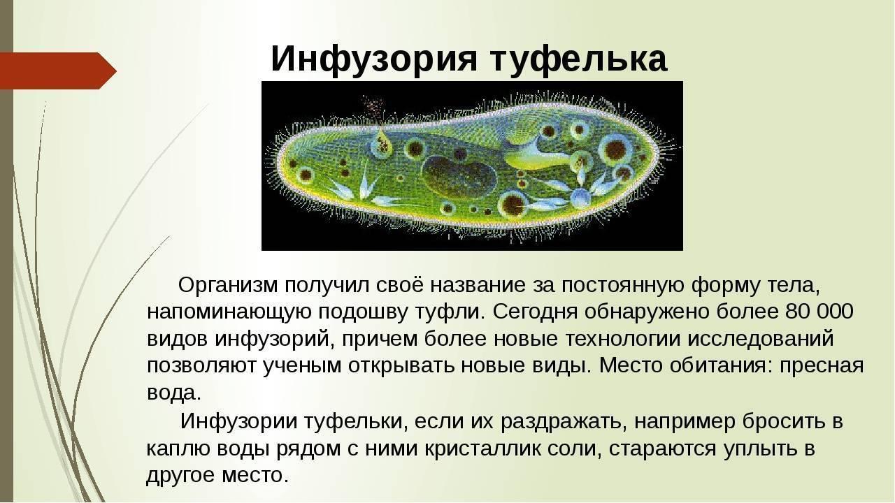 Подцарство одноклеточные. общая характеристика: строение, питание, размножение и значение. тип саркомастигофора, тип инфузории и тип апикомплексы