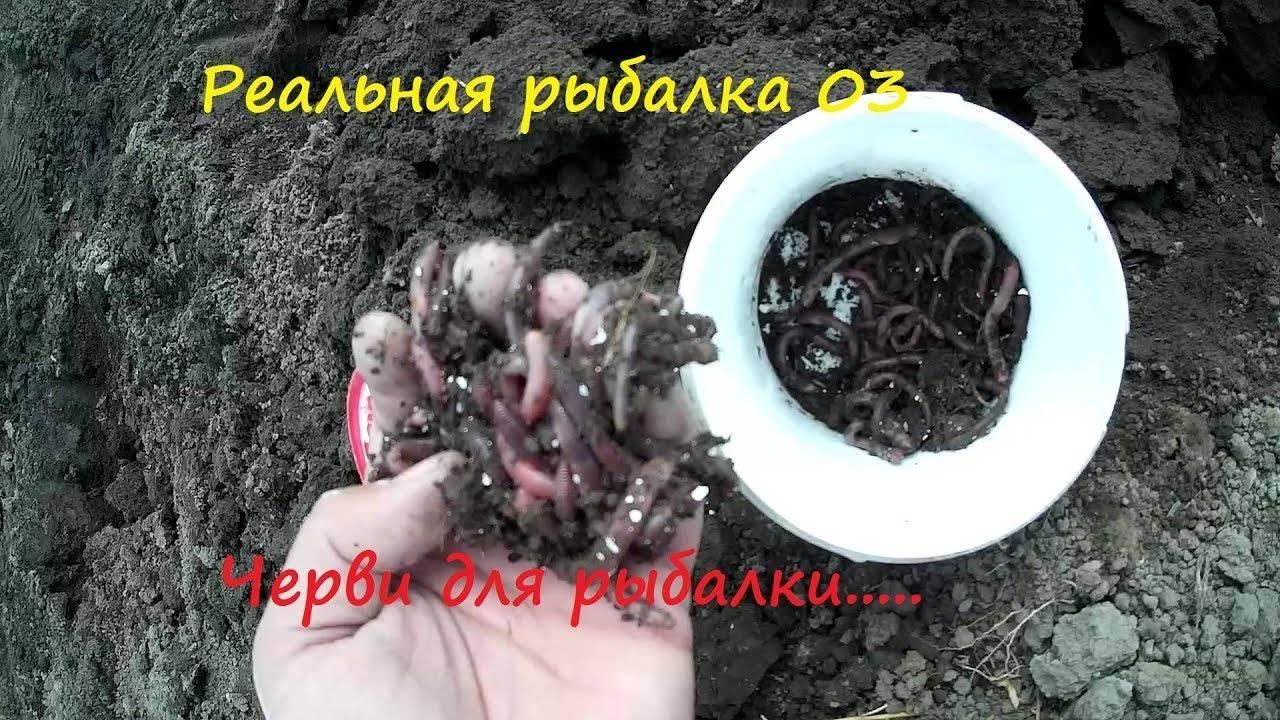 Способы хранения червей для рыбалки дома