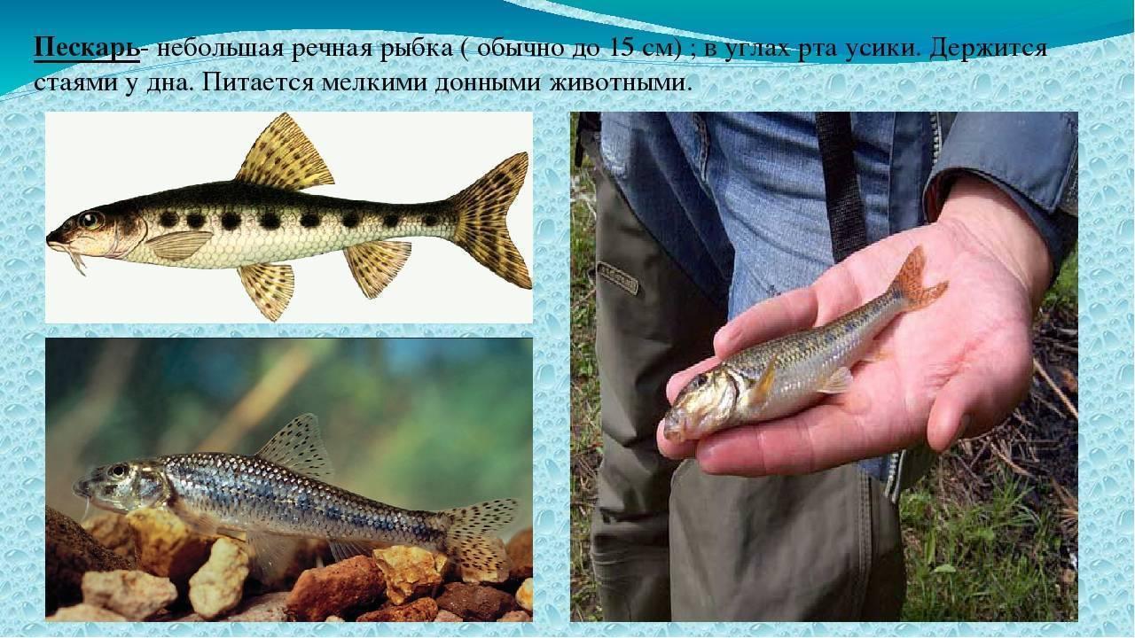 Что за рыба пескарь и где она обитает