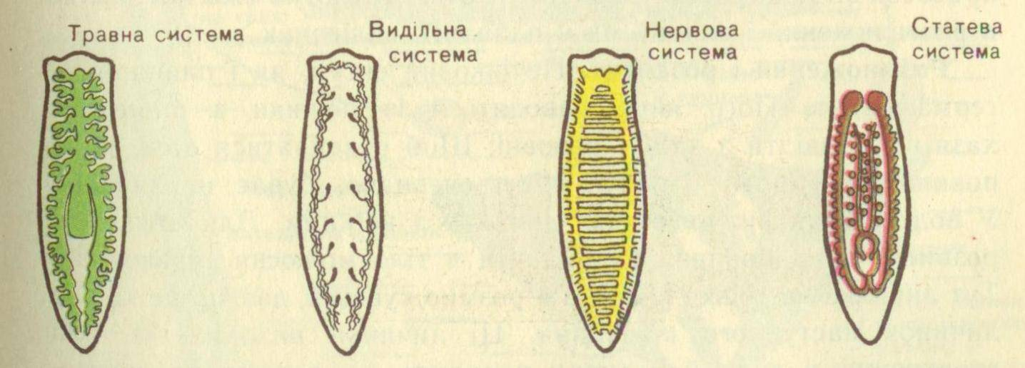 Ресничные черви. белая планария: строение и органы