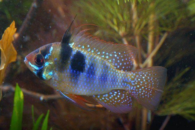 Аквариумная рыбка апистограмма: как ухаживать и чем кормить