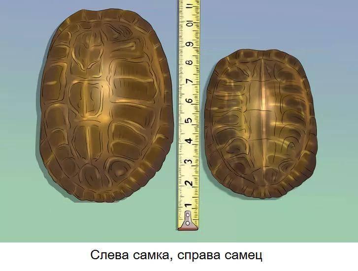 ᐉ как определить пол у черепахи красноухой? - zooshop-76.ru
