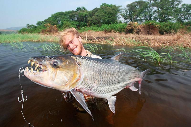 Рыба голиаф или большая тигровая рыба