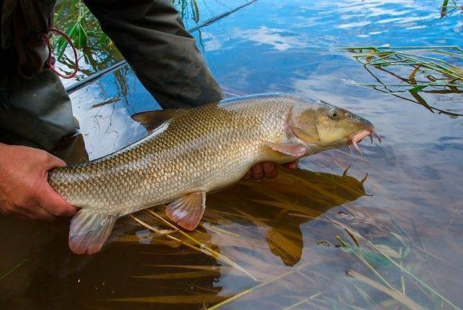 Рыба мохтик: ареал, внешний вид, размножение | ZdavNews.ru