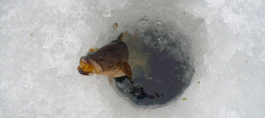 Рыбалка на ротана зимой: выбор снасти и наживки, когда лучше клюет при ловле со льда