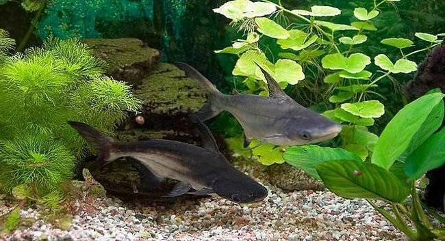 Акулий сом пангасиус аквариумный – содержание и уход