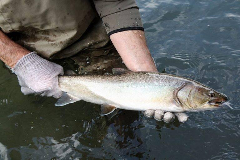 Рыба голец: польза и вред