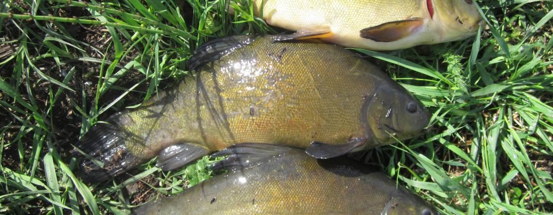 Линь рыба: описание, образ жизни. ловля линя: снасти, прикормки и приманки