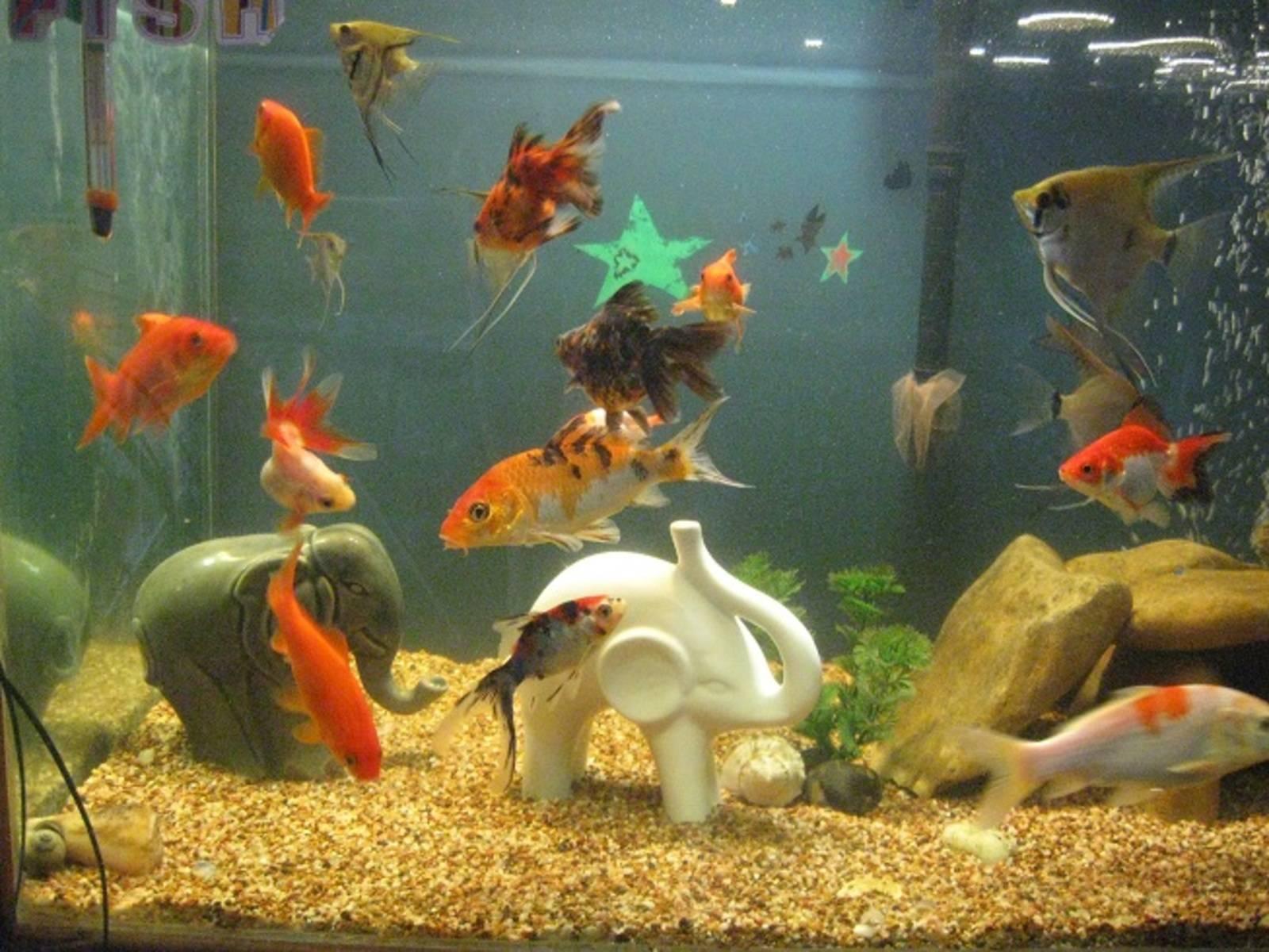 15 совместимых со скаляриями рыбок