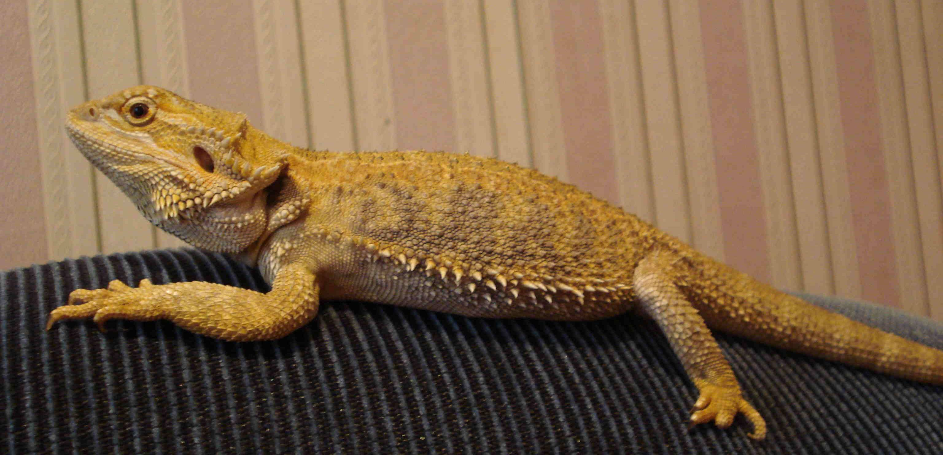 Домашние рептилии — виды и условия содержания - домашние животные - домашние и дикие животные - жизнь в москве - молнет.ru