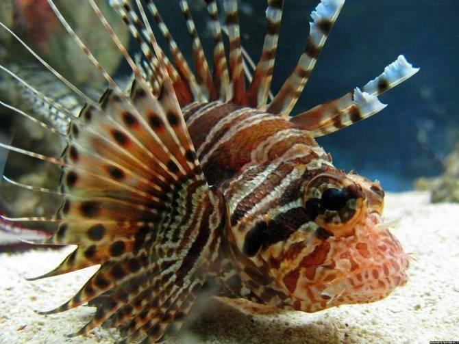 Особенности содержания аквариумной рыбы псевдотрофеуса зебры