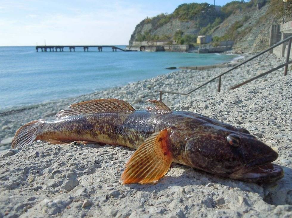 Рыба бычок: общая характеристика морского бычка, описание популярных видов и как правильно ловить рыбу