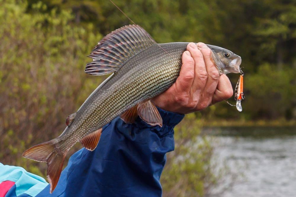 Рыбалка на хариуса в красноярске: где искать и чем приманивать