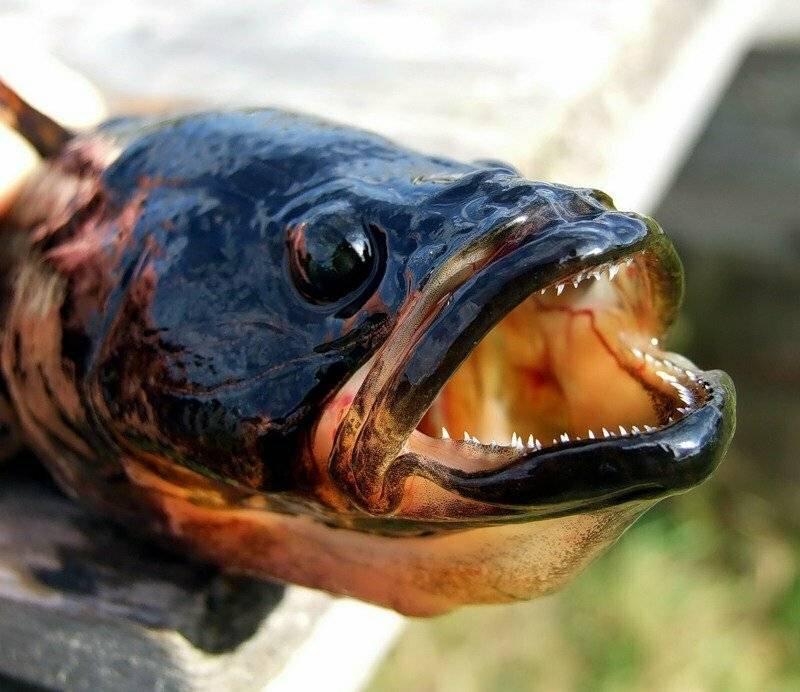 Ротан рыба: как выглядит, каких размеров достигает, питание и нерест.