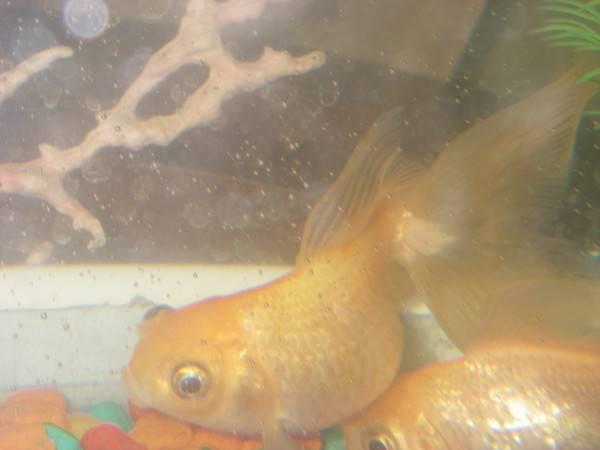 Болезни золотых рыбок. как их лечить