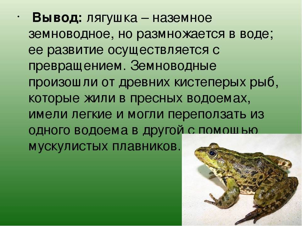 Зеленая жаба: описание, места обитания, образ жизни амфибии