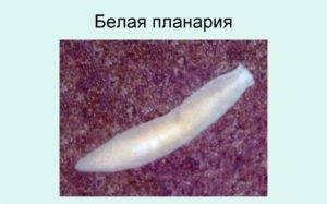 Характеристика планарии белой: строение, нервная система, тело, черви, органы - я здоров