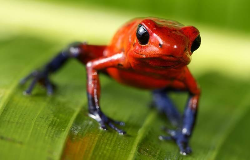 Самые ядовитые виды лягушек в мире (с фото) | vivareit