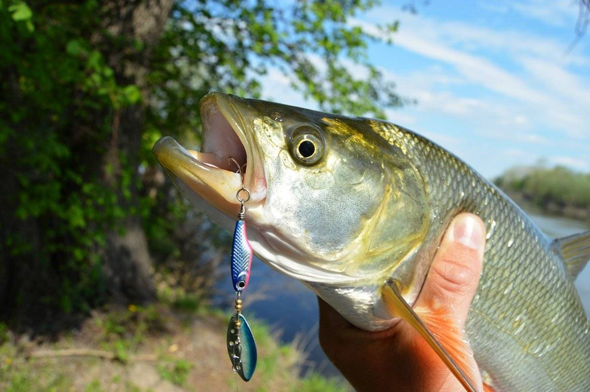 Как поймать жереха - спортивное рыболовство