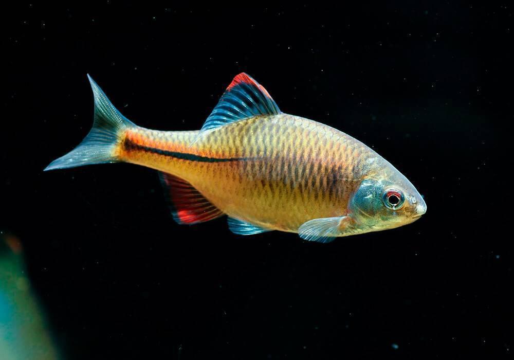 Обыкновенный горчак (лат. rhodeus sericeus). виды рыбы горчак: описание, ловля и разведение
