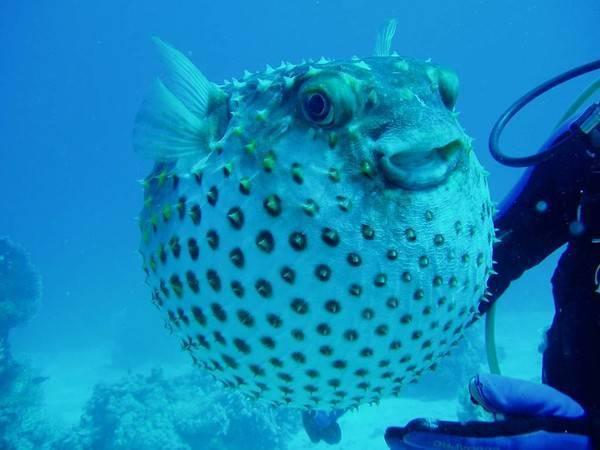 Тетрадон (рыба шар, иглобрюх, рыба пузырь): виды, описание, содержание, совместимость, размножение, кормление, болезни