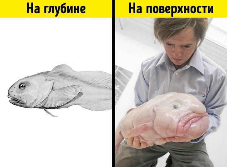Рыба капля - фото, видео, интересные факты,где обитает