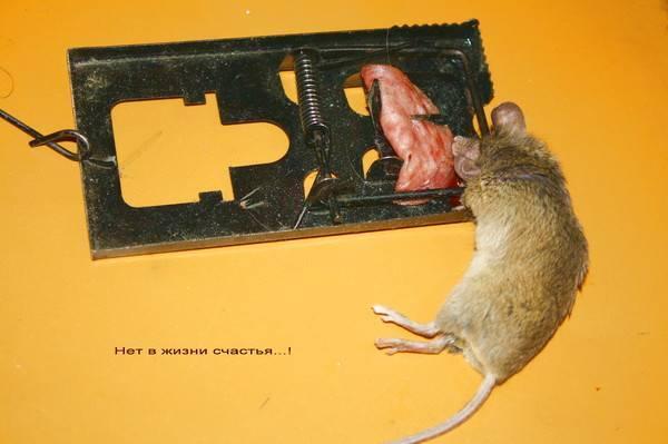 Как поймать мышь с мышеловкой или без нее своими руками, способы создания ловушек в домашних условиях