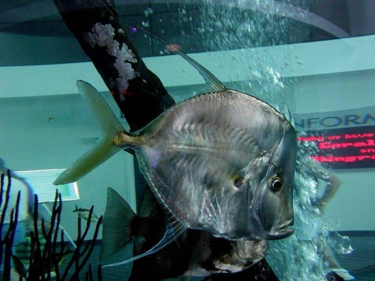 Рыба маринка: фото, где обитает и чем питается, особенности ловли
