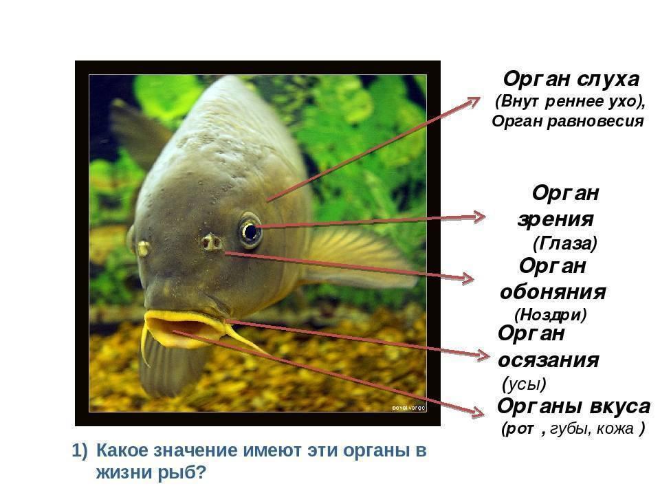 ✅ есть ли у рыб уши? есть ли у рыб слух - elpaso-antibar.ru
