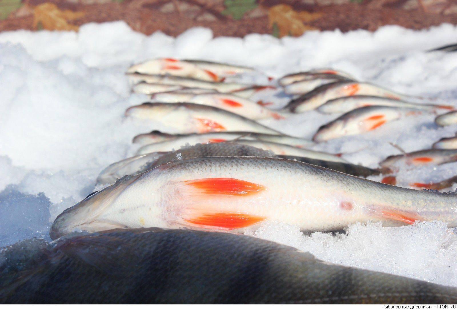 Сообщества › охота и рыбалка › блог › массовая гибель рыбы. горьковское водохранилище.