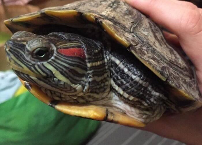 Болезни красноухих черепах: симптомы и лечение болезни красноухих черепах: симптомы и лечение