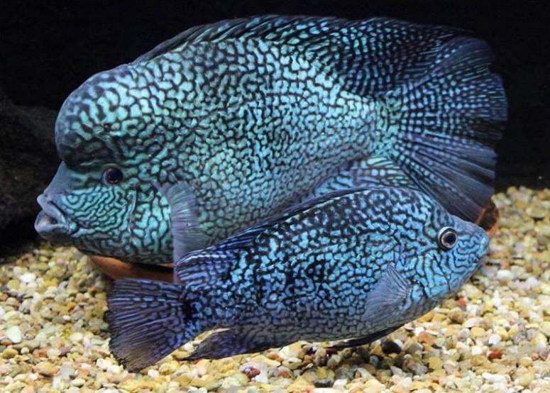 Цихлазома рыбка. описание, особенности, виды и уход за цихлазомой | животный мир