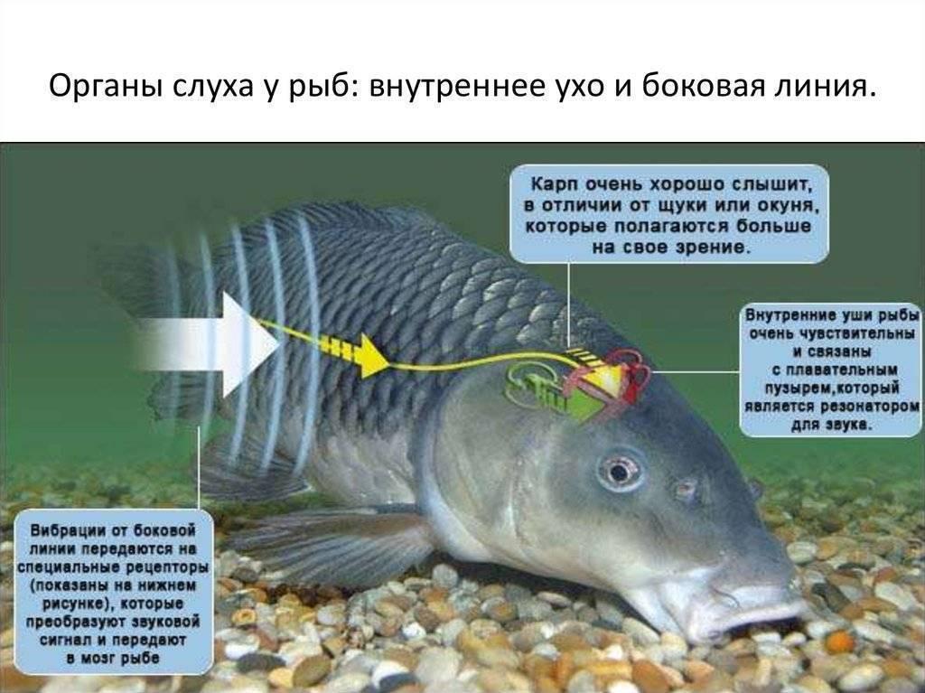 Есть ли у рыб уши