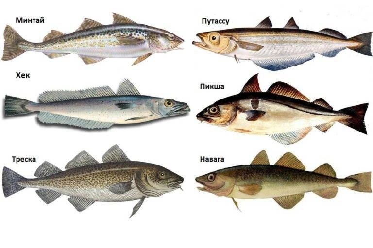 Рыба путассу: польза и вред для организма, фото, использование в кулинарии