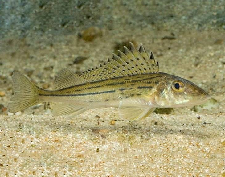 Ерш рыба. описание, особенности, виды, образ жизни и среда обитания ершей