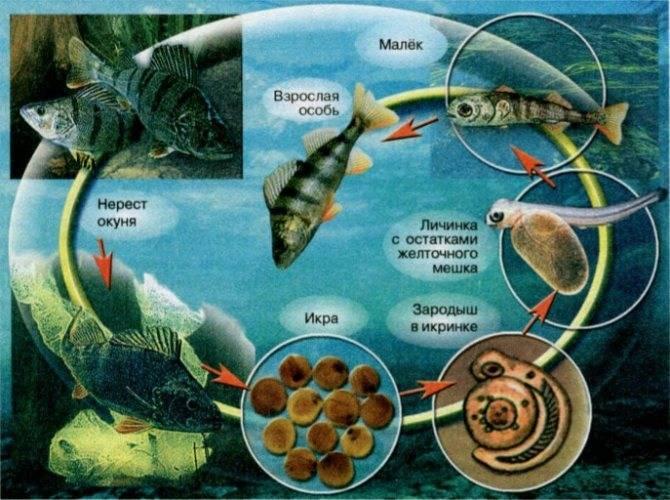 Размножение у рыб