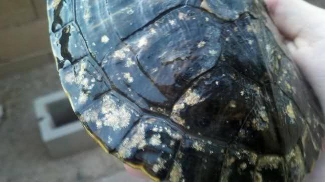 Грибок у черепах на панцире и коже: симптомы и лечение в домашних условиях (фото)