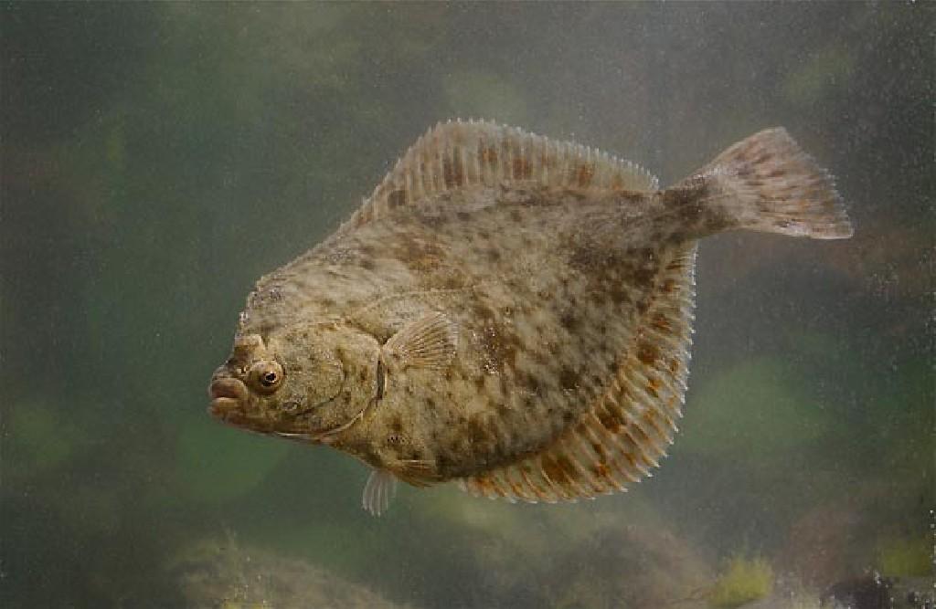 Где обитает камбала: среда обитания рыбы, нерест и особенности видов