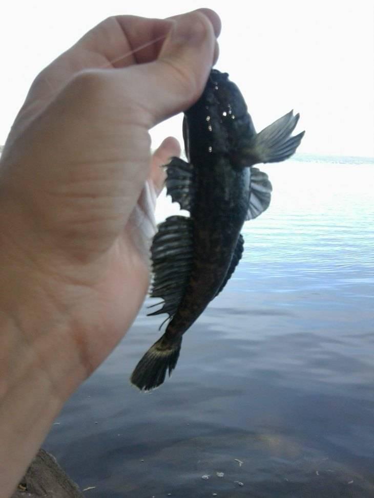 Канальный сомик - что это за рыба, где и на какие снасти ловится (110 фото + видео)