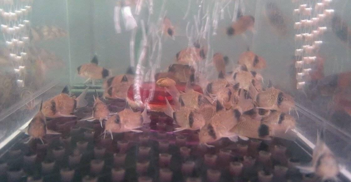 Бизнес на разведении аквариумных рыбок
